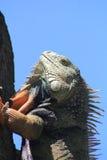Iguana. `Iguana` walking in the forest Stock Image