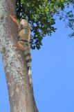 Iguana. `Iguana` walking in the forest Stock Photos