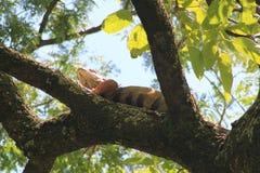 Iguana. `Iguana` walking in the forest Stock Images