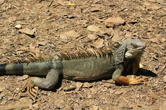 `Iguana` walking. In the forest Stock Image