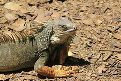 `Iguana` walking. In the forest Royalty Free Stock Image