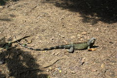`Iguana` walking in the forest. View of `Iguana` walking in the forest Stock Image