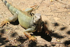 `Iguana` walking in the forest. View of `Iguana` walking in the forest Stock Images