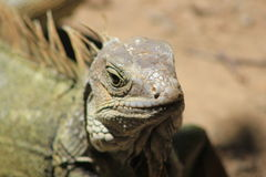 `Iguana` walking in the forest. View of `Iguana` walking in the forest Royalty Free Stock Photo