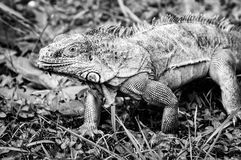 Iguana walking on grass BW Royalty Free Stock Photography