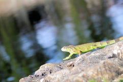 Iguana walking Royalty Free Stock Images