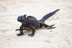 Iguana walking on white sand Stock Photos