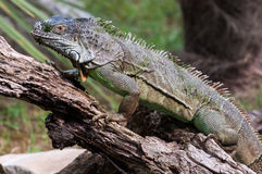 Iguana walking on a wood closer Royalty Free Stock Photos