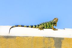 Iguana on a wall. Big green lizard. Stock Photos