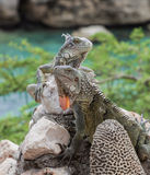 Iguana on a wall royalty free stock photography