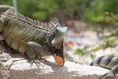 Iguana on a wall stock photos