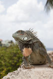 Iguana on a wall stock photo