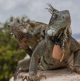 Iguana on a wall stock photography