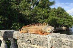 Iguana on the wall Stock Photography