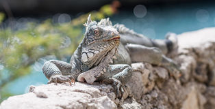 Iguana on a wall Royalty Free Stock Image
