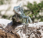 Iguana on a wall royalty free stock images