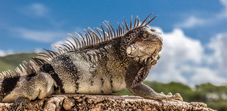Iguana on a wall stock image