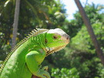 Iguana Watching Danger. Ready to run or defend himself. This wary reptile is watching something intently Royalty Free Stock Photography