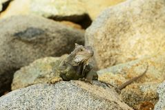 Iguana Watching You from the stones Royalty Free Stock Images