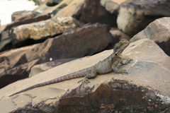The iguana water dragon on the rocks on the beach in Byron Bay, Australia Stock Images