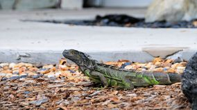 Iguana by water, South Florida Stock Image