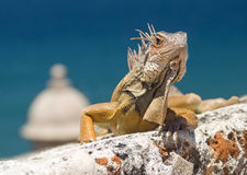 Iguana on the way up Stock Images