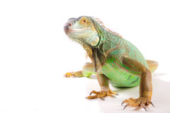 Iguana on white Stock Images