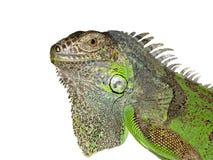 Iguana on a white background Stock Images