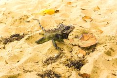 Iguana on white sand beach in Caribbean. Iguana on white sand in the Caribbean beach Royalty Free Stock Photos
