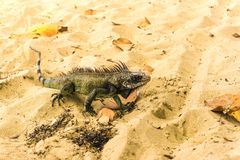 Iguana on white sand beach in Caribbean. Iguana on white sand in the Caribbean beach Stock Photos