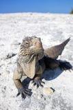 Iguana on white sand beach in Cayo Largo. Iguana on white sand beach in Cayo Largo del Sur, Cuba royalty free stock image