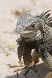 Iguana on a White Sand Beach Up Close Royalty Free Stock Images