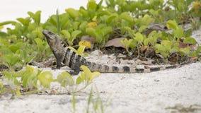 Iguana in the white sand Royalty Free Stock Photos