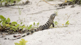 Iguana in the white sand Stock Images