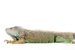 Iguana on white Stock Photography