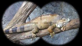 Iguana widzieć przez lornetek Dopatrywań zwierzęta przy przyroda safari zbiory