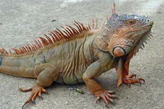 Iguana in the wild. Iguana in an iguana farm in Honduras Royalty Free Stock Photo
