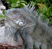 Iguana in the wild stock image