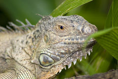 Iguana in the wild Stock Photography