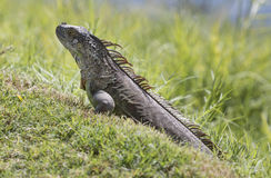 The iguana in the wild. Stock Photo