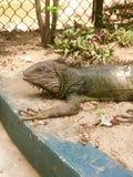 Iguana. Wild life reptil Royalty Free Stock Photo
