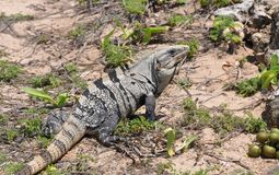 Iguana in the wild nature. Mexico Stock Photo