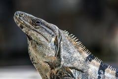 Iguana in wildlife. Cancun, Mexico Stock Photo