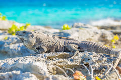 Iguana in wildlife. Cancun, Mexico Stock Photography