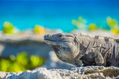 Iguana in wildlife. Cancun, Mexico Royalty Free Stock Images