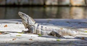 Iguana in wildlife. Cancun, Mexico Stock Photos
