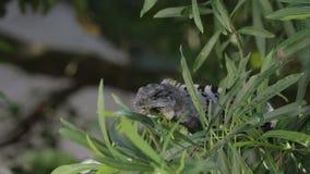 Iguana in wildlife. Cancun, Mexico stock video