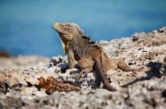 Iguana. Wildlife photo of Iguana in Cuba Royalty Free Stock Image