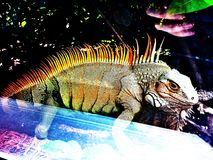 An iguana through the window. The lizard king regaled in spikes walks past a window, iguana Stock Image