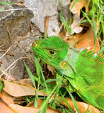 An iguana in the windward islands Royalty Free Stock Photography